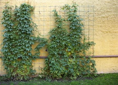 girlish: Quinata girlish grapes or grape Virginia (Parthenocissus quinquefolia) on the support Stock Photo
