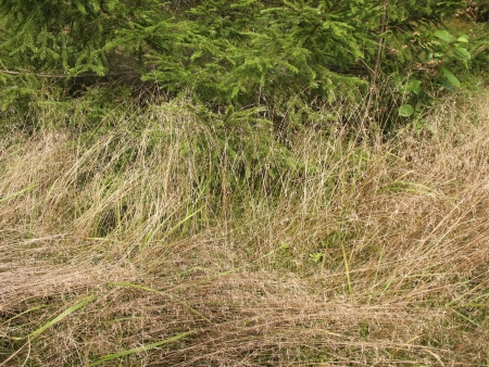 Grass Deschampsia flexuosa in the woods photo