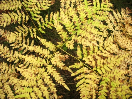 Yellowing bracken fern, Pteridium aquilinum Stock Photo - 17152306