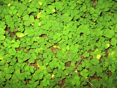 Shamrock, Oxalis acetosella Stock Photo - 17152336