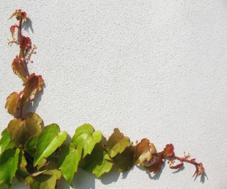 aralia: Shoots of ivy (Hedera), family Araliaceae