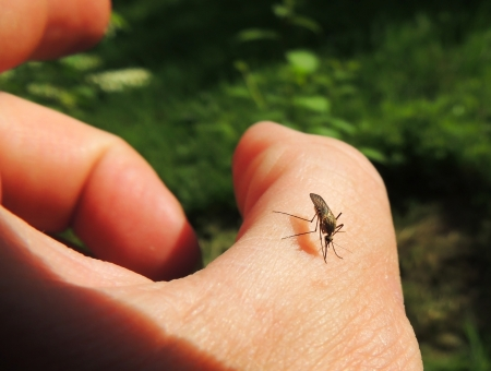 culicidae: Bloodsucking mosquitoes  Culicidae  on a victim Stock Photo
