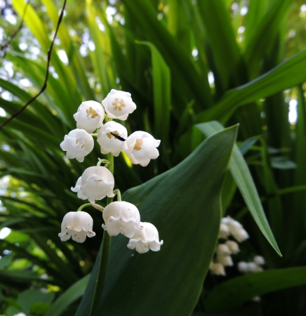 bell curve: Flowering lily May  Convallaria majalis