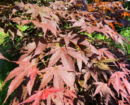 acer: Leaves of Japanese maple  Acer japonicum