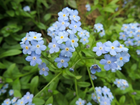 pubescent: The blue flowers of forget-me  Myosotis  in the garden Stock Photo