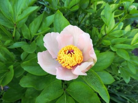 peony tree: Albero fiore di peonia Paeonia, una famiglia di propionico