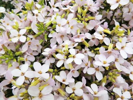 cruciferous: Flower arabis or Arabis Arabis, cruciferous