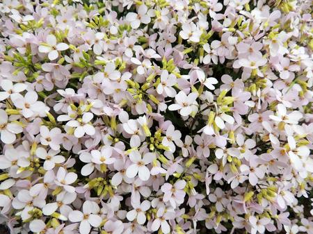 pubescent: Flower arabis or Arabis Arabis, cruciferous