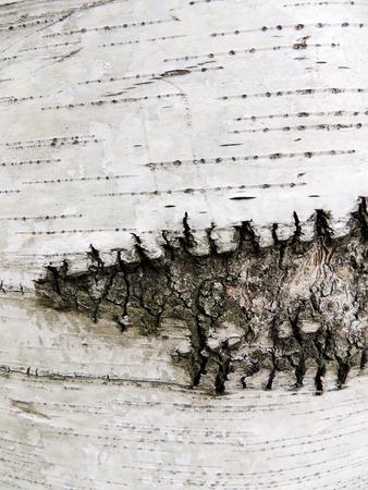 betula pendula: Bark of birch, species of Karelian, Betula pendula var. Carelica