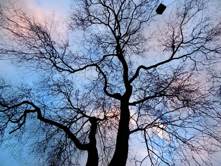 wizened: Dry tree in the park. Backlight