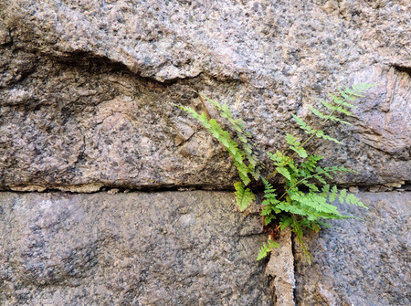 grew: Ferns Polypodiophyta, who grew up among granite slabs Stock Photo