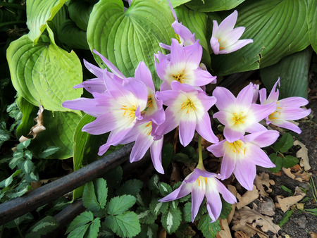 funnel shaped: colchicum