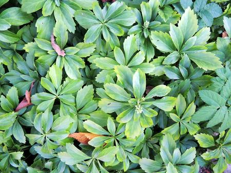 apical: Pahizandra apical Rachysandra terminalis