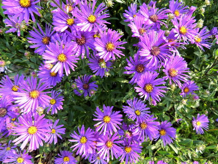 aster: Aster Italian aster amellus