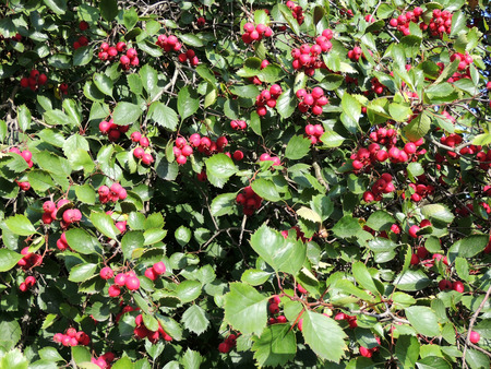 ornamental shrub: Fruits of hawthorn Crataegus oxyacantha
