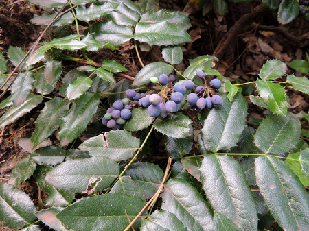 leathery: Oregon Grape (Mahonia aquifolia) with blue berries Stock Photo