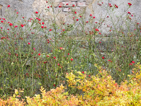 yellowing: Bushes blooming roses and spirea yellowing on background wall Stock Photo