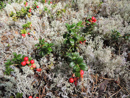 Cowberry and reindeer clade Cladonia rangiferina Stock fotó