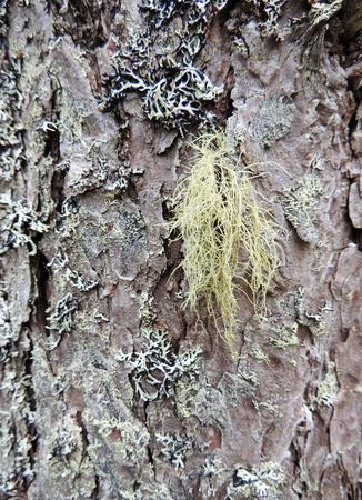 Lichen whitening densely, Usnea dasypoga, on trunk of pine