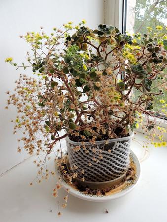 Blossoming Aichryson on windowsill