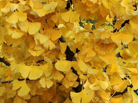 Background from yellowed ginkgo leaves (Ginkgo biloba)