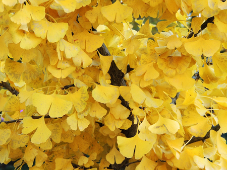Background from yellowed ginkgo leaves (Ginkgo biloba)