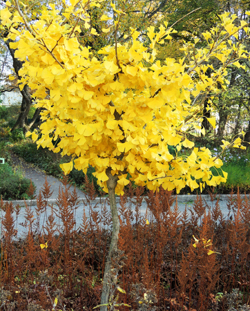 Yellowed Ginkgo Tree (Ginkgo biloba) in the fall 版權商用圖片