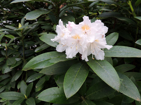 Flowering pale pink rhododendron. Spring, April Imagens - 115320420