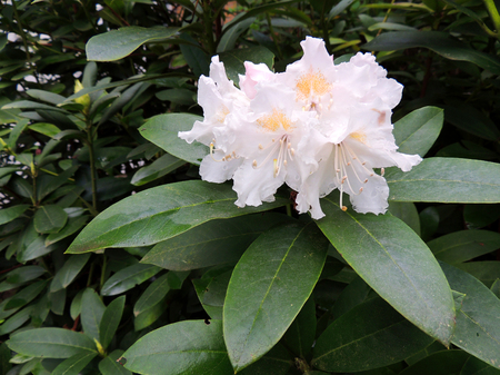 Flowering pale pink rhododendron. Spring, April Imagens - 115320421