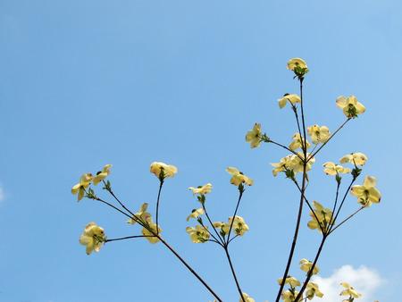 Japanese dogwood, Cornus cousa, during flowering