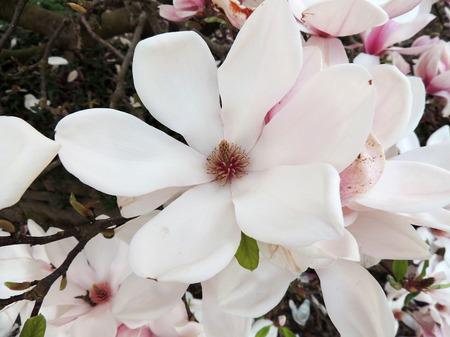 Magnolia Soulangeana in bloom