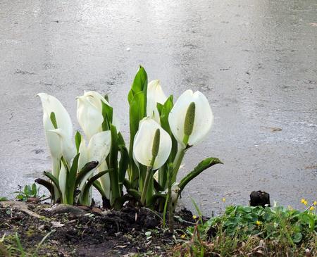 Lysichiton of Kamchatka, Lysichiton camtschatcensis, during flowering Stock Photo