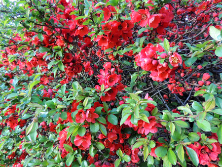 Chaenomeles superba at the time of flowering