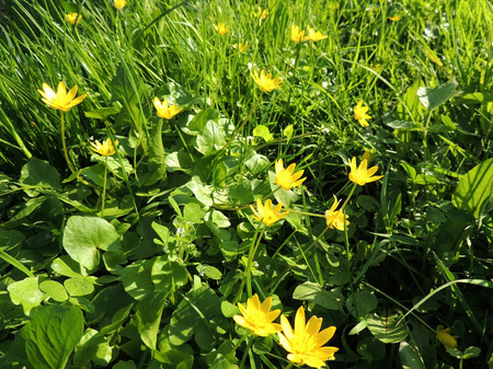 Spring Buttercup, Ficaria verna, during flowering