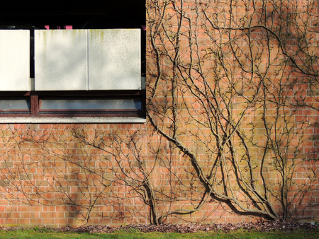 Shoots ivy, Hedera, on a brick wall Stock Photo