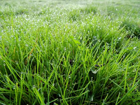Dew on grass, lawn