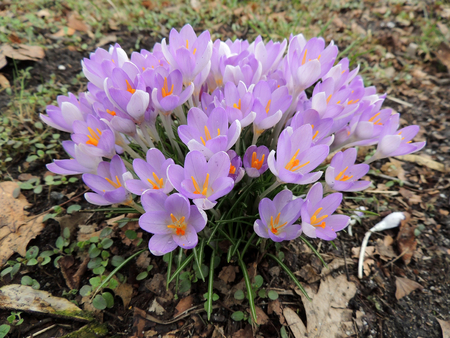 Blooming purple crocus in early spring