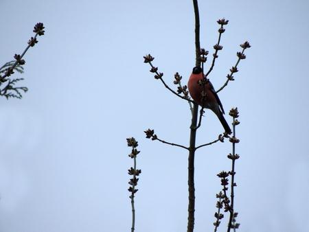 Bullfinch, Pyrrhula pyrrhula, on a tree branch