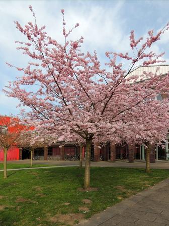 Japanese cherry, Prunus serrulata, during flowering