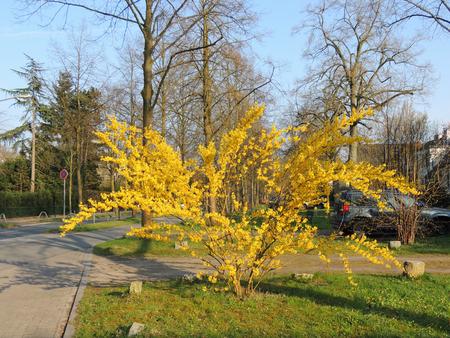 Forsythia shrub, during flowering. Early spring