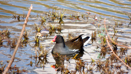 Bird Dusky moorhen, Gallinula chloropus, swimming in pond