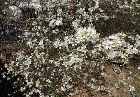 Blackthorn, Prunus spinosa, during flowering Banco de Imagens
