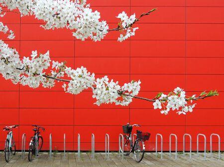 White Japanese cherry, Prunus serrulata,  against background of red wall