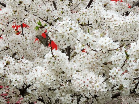 White finely cherry, Prunus serrulata, during flowering