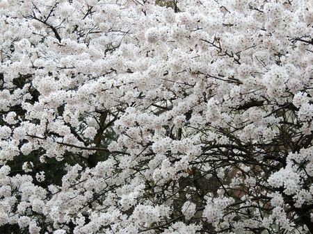White finely cherry, Prunus serrulata, during flowering