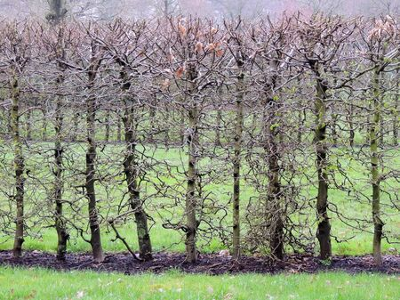 Common Hornbeam hedge, Caprinus betulus, in spring