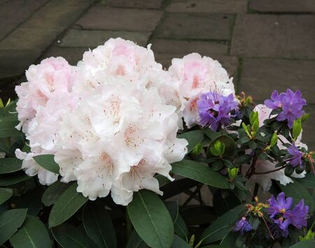 Flowering pale pink rhododendron. Spring, April Imagens - 126137679