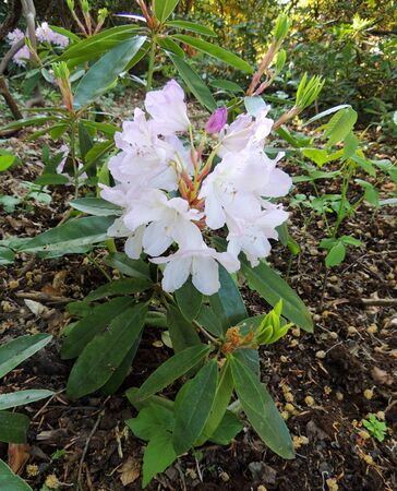 Flowering pale pink rhododendron. Spring, April Imagens - 126137682