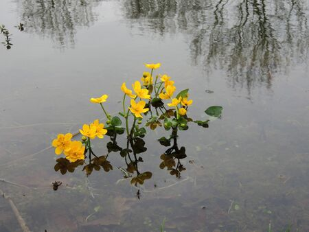 Cowslip marsh , marsh-marigold or kingcup, Caltha palustris, blooming in shallow water  Stok Fotoğraf
