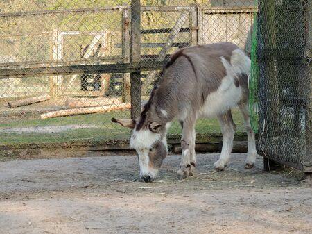 Donkeys, Equus asinus asinus, in aviary eating hay
